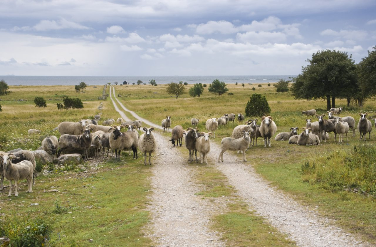 The Gute Sheep - The sheep from Gotland. Both ewes and rams have horns. Southern Gotland. Baltic Sea in Background.