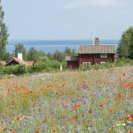 Swedish cottage seen over field of poppies and cornflowers. Lake Siljan in the distance.